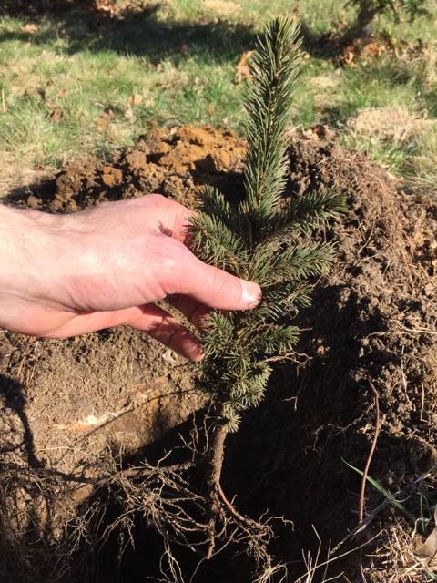 white spruce seedling